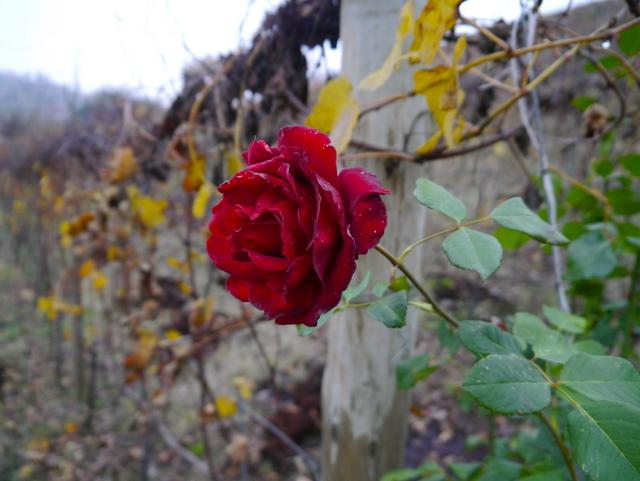 Rosebusker på endene av alle vinstokkene - både dekorativt og nyttig, fordi rosene angripes av sykdom raskere enn vinstokkene